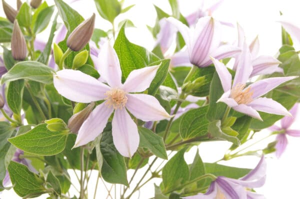Clematis Bouquet of Flowers Kirkby Lonsdale Florist