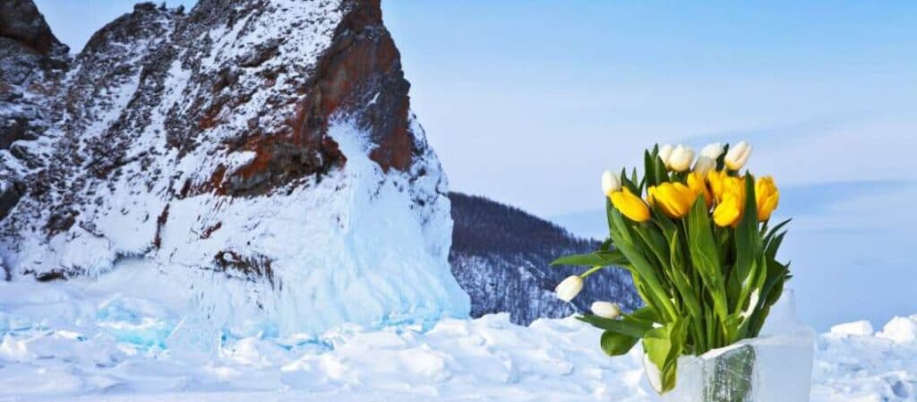 Tulips in the Arctic cover image